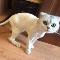 Стрижка кошек и котов. Выезд на дом