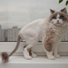 Стрижка кошек и котов на дом