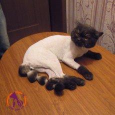 Стрижка кошек и котов на дому в СПб