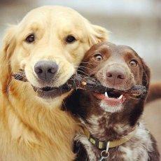 Дрессировка собак с проживанием у кинолога.